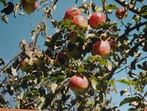 reiche Apfelernte in den Hochstädter Streuobstwiesen