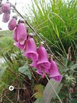 Irische Glockenblume