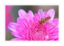 Schwebfliege auf Chrysantheme