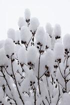 Hibiskus mit Schneehäubchen
