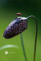Lilienhähnchen auf Schachblume