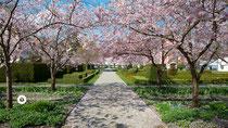 Kirschblüte im Schoss Salem