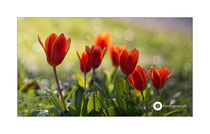Tulpen im Park