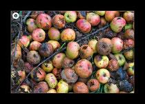 Äpfel vom Boden (-See)