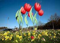 Riesen Tulpen am Kreisverkehr II