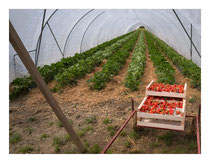 Strawberry Tunnel