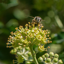 Insekt auf Hedera Helix