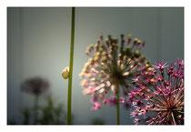Alliumkletterer