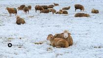 Schafe im Winter
