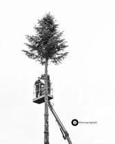Gleich fällt der Weihnachtsbaum