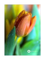 Tulpe im Morgentau