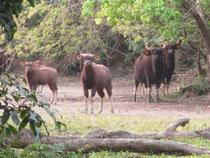 wild buffalo