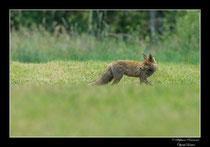 © Objectif Loutre - Stéphane Raimond - Renard en chasse