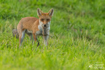 © Objectif Loutre - Stéphane Raimond -  jeune renard avec sa proie