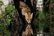 © Objectif Loutre - Stéphane Raimond - Reflet de renard