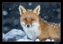 © Objectif Loutre - Stéphane Raimond - Renard dans la neige
