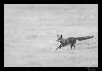 © Objectif Loutre - Stéphane Raimond -  renard et hanneton