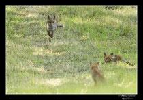 © Objectif Loutre - Stéphane Raimond - Les renards et renardeaux