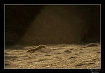 © Objectif Loutre - Stéphane Raimond -  renarde en mulotage dans une trouée de lumière