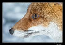 © Objectif Loutre - Stéphane Raimond - Portrait de renard