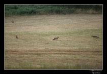 © Objectif Loutre - Stéphane Raimond -  renards