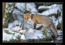 © Objectif Loutre - Stéphane Raimond -  Renard au bord de l'étang gelé