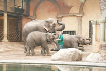 Im Hintergrund liegt ein Elefant auf Kommando des Pflegers