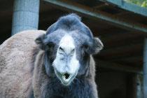 Achmed, der 15-jährige Kamelhengst