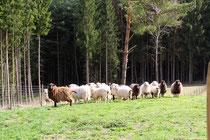 Schafe im Pfälzer Wald