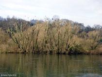 """Garzaia presso il """"toffo, Brivio (LC), fiume Adda, 08.02.2014"""
