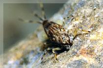 Eintagsfliegenlarve