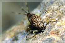 Eintagesfliegenlarve