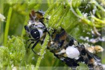 Köcherfliegenlarve