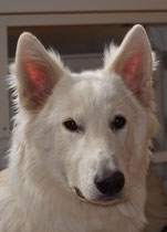 Bella Nika von den Weissen Wupper Wölfen, 8,5 Monate