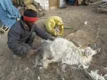 毛を収穫 パシュミナ