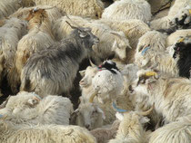たっくさんのパシュミナヤギ
