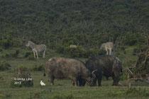 Büffel und Zebras