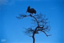 Brown Pelican - Galapagos, Ecuador - 1995