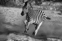 Zebra in Makgadikgadi Pans National Park, Botswana 2015