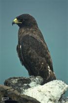 Galapagos Hawk - Galapagos, Ecuador - 2995