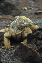 Galapagos Land Iguana (Conolophus subcristatus) - Galapagos, Ecuador - 1995
