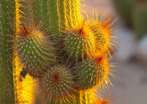 Cactus at Solitaire, Namibia 2011
