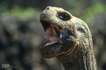 Galápagos giant tortoise- Galapagos, Ecuador - 1995