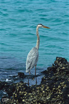 Great Blue Heron - Galapagos, Ecuador - 1995