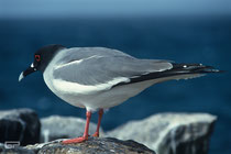 Swallow Tailed Gull - Galapagos, Ecuador - 1995