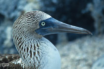 Blue-footed Booby - Galapagos, Ecuador - 1995