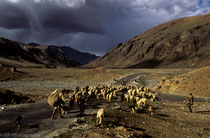 Sheeps in Manali Highway, Ladakh 1994