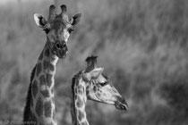 Giraffe, Savuti, Chobe National Park, Botswana 2015