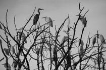 Herons in a tree, Khadizora Camp, Okavango Delta, Botswana 2015