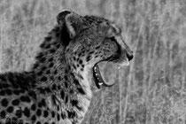 Cheetah, near Kwara Camp, Okawango Delta, Botswana 2015